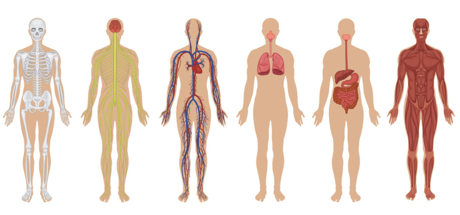 an overview of the physical growth in humans